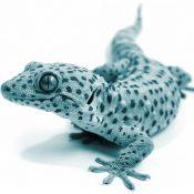 gecko_01